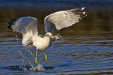 Ring-billed Gull & Fish