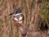 Kingfisher (female)