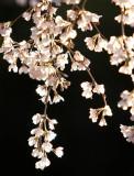 Sakura 賞櫻