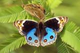 Blue Pansy (male) 翠藍眼蛺蝶 (雄)Junonia orithya