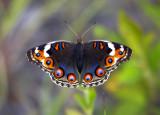 Nymphalidae (Nymphs) 蛺蝶