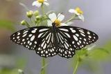 Blue Tiger 青斑蝶 Tirumala limniace