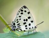 Lycaenidae (Blues) 灰蝶