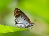Chestnut Angle 角翅弄蝶 Odontoptilum angulatum
