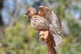 red shouldered hawk juvie
