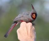 pyrrhuloxia male