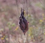 common ground dove mist net