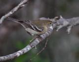 IMG_7361pine warbler.jpg