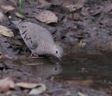IMG_7489common ground dove.jpg