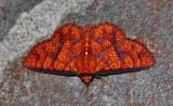 Linda Alley's Moths of Ecuador