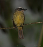 IMG_9490golden-crowned flycatcher.jpg