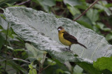 IMG_9634.jpg  Flame-rumped tanager female