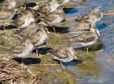 dowitchers short billed