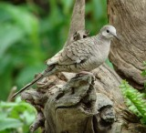 inca dove white feathers