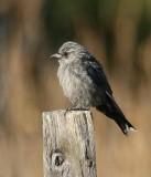Dusky Woodswallow (juvenile)