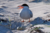 Common Tern by nest