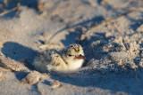Least Tern chick 1-Jul