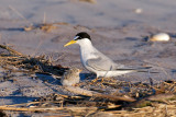 Least Tern parent and chick 1