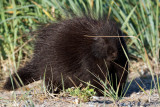 Porcupine cute side