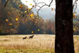 Elk cow and calf in field