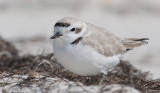 Snowy Plover on a windy day