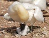 Northern Gannet parent and chick 1