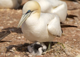Northern Gannet parent and chick 5