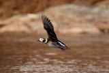 Long-Tailed Duck female in flight 2