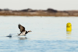 Long-Tailed Duck male taking off 2