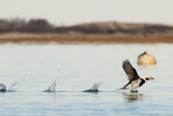 Long-Tailed Duck male taking off