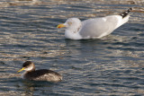 Red-Necked Grebe and Herring Gull