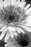 Geber Daisy