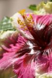 Rainbow Christie Hibiscus
