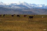 Bridgeport, CA  Cattle Ranch