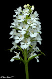 Large Purple Fringed Orchid - White Variant