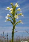 Eastern Prairie Fringed Orchid