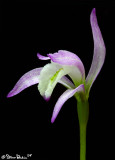 Three Birds Orchid