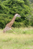 Thornycrofts Giraffe
