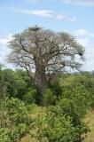 Baobab and stork