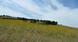 sunflowers juniper and sky city creek area P1040161.jpg