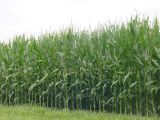 Back through the cornfields, as we bid Illinois a fond farewell.