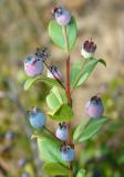 Frutos da Murta // Fruits of Myrtle (Myrtus communis)