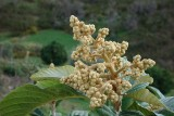 Flores da Nespereira // Loquat Flowers and Leaves (Eriobotrya japonica)