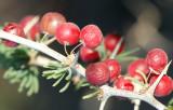 Frutos da Estrepes (Asparagus albus)