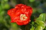 Flor da Romãzeira // Pomegranate Flower (Punica granatum)