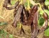 Alfarrobas // Carob Fruits (Ceratonia siliqua)