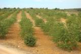 Alfarrobeiras // Carob Trees (Ceratonia siliqua)