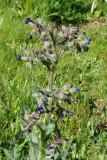 Flor do campo // Red Monkswort (Nonea vesicaria)