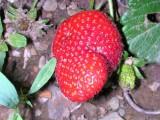 Morango // Beach Strawberry (Fragaria chiloensis forma chiloensis)