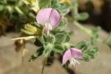 Unha-de-gato ou Gatunha // Spiny Restharrow (Ononis spinosa subsp. spinosa)